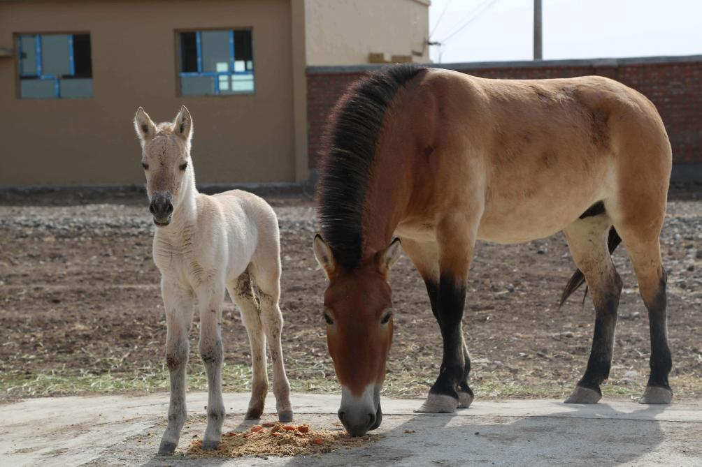 Il n'existerait plus de chevaux sauvages sur Terre