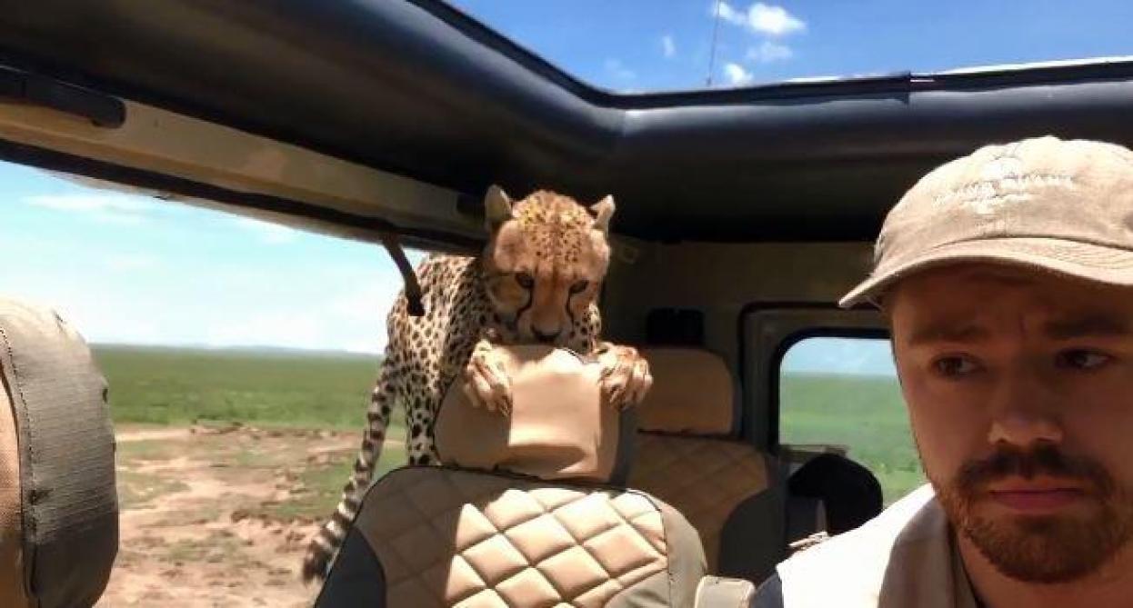 Un guépard rentre tranquillement dans une voiture — Safari