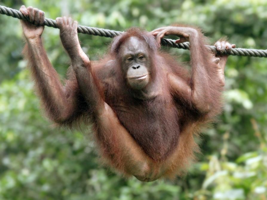 Déforestation. La vidéo impressionnante d'un orang-outan en panique devant un bulldozer