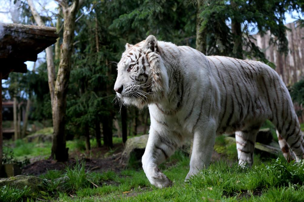 Un tigre blanc tue un gardien de zoo — Japon