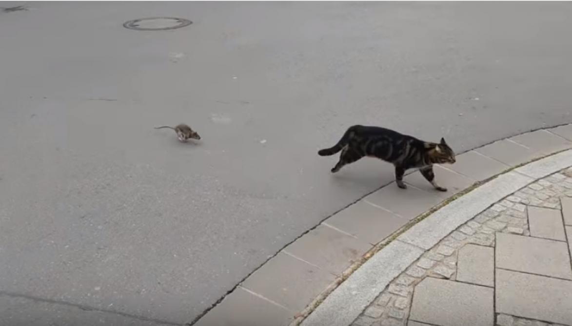 Au Luxembourg, les rôles s'inversent: un rat fait fuir un chat (vidéo)
