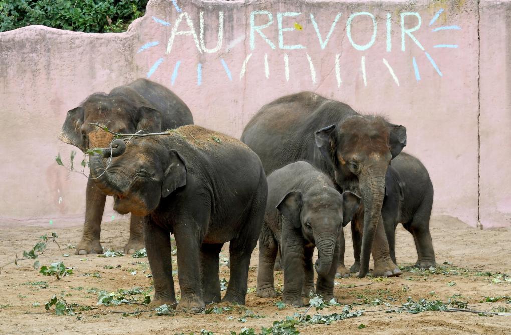 Un éléphant de Pairi Daiza sera bientôt remis en liberté