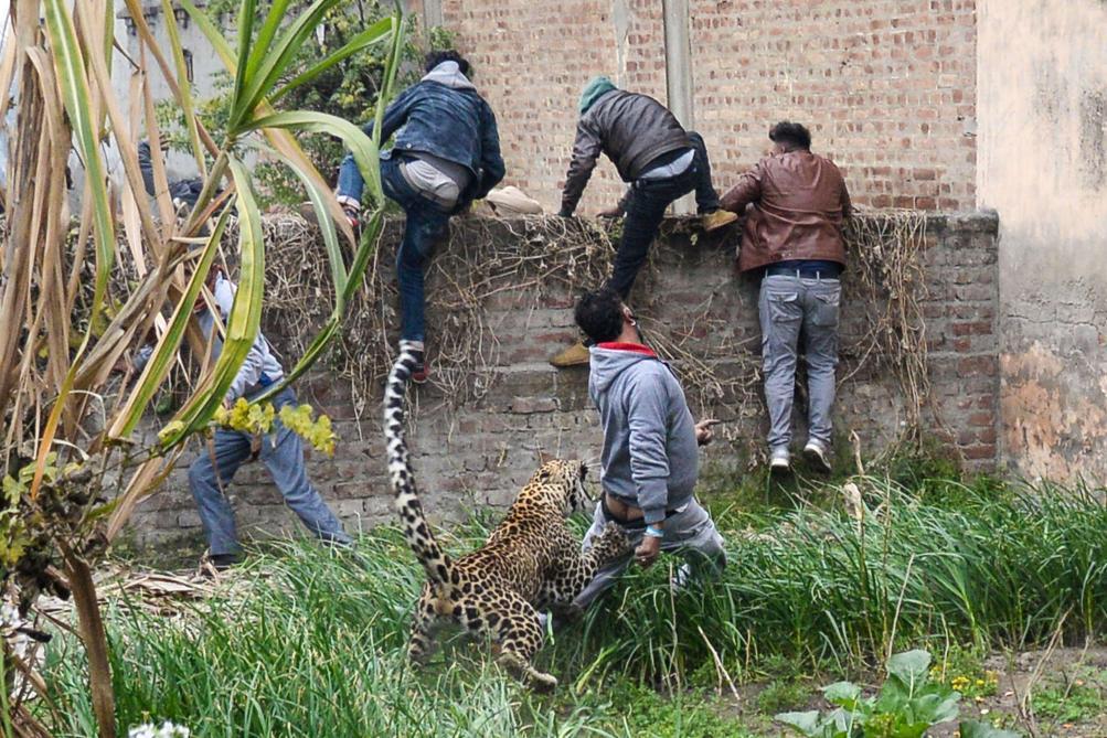 La capture d'un léopard vire au drame — Inde