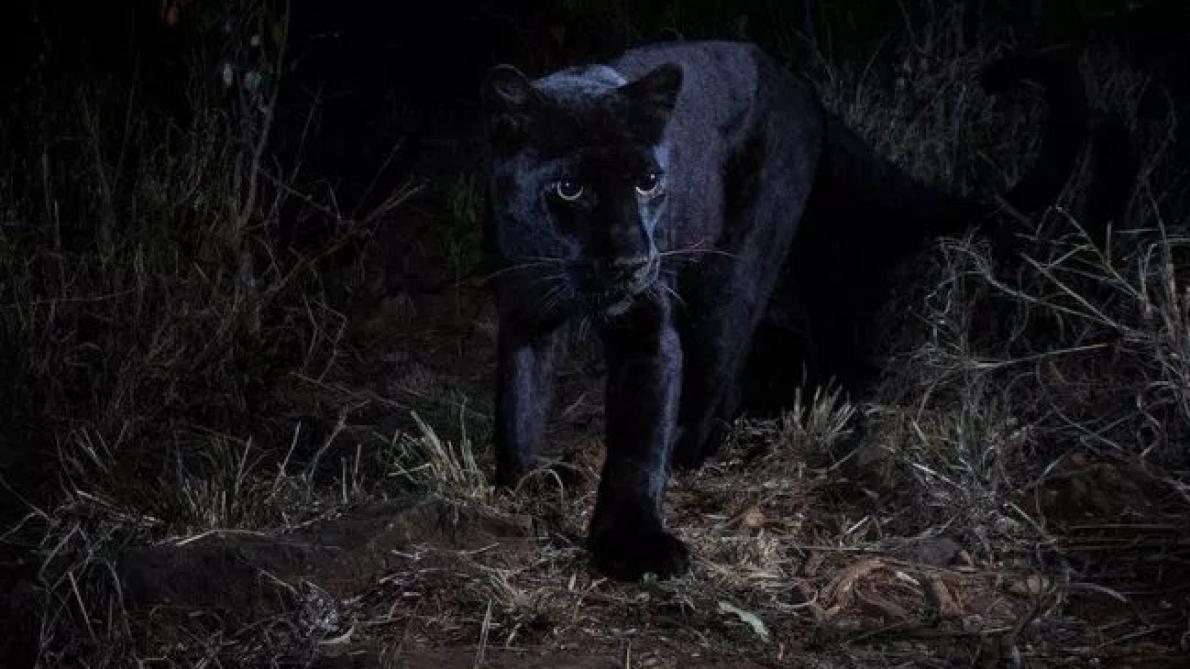 Premières photos de panthère noire en Afrique depuis 1909