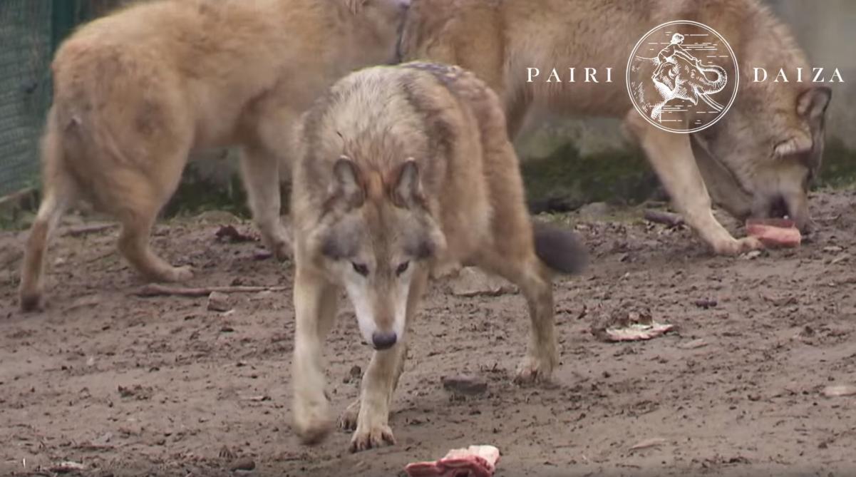 Belgique: Les loups sont entrés dans Pairi