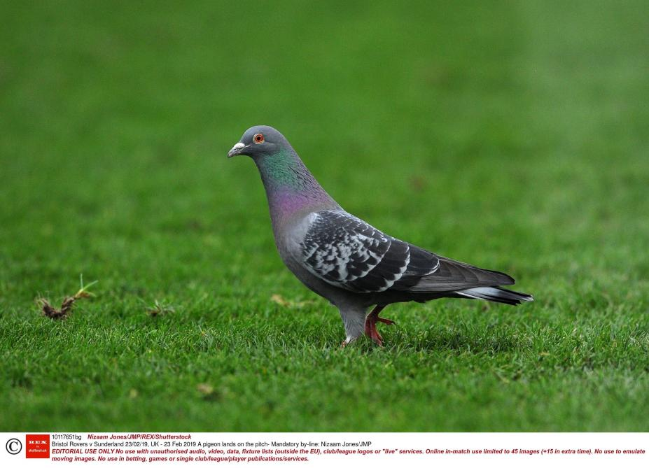 Un pigeon voyageur vendu 1,25 million d'euros en Belgique