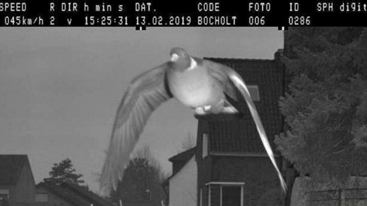Allemagne : Un radar flashe un pigeon en excès de vitesse