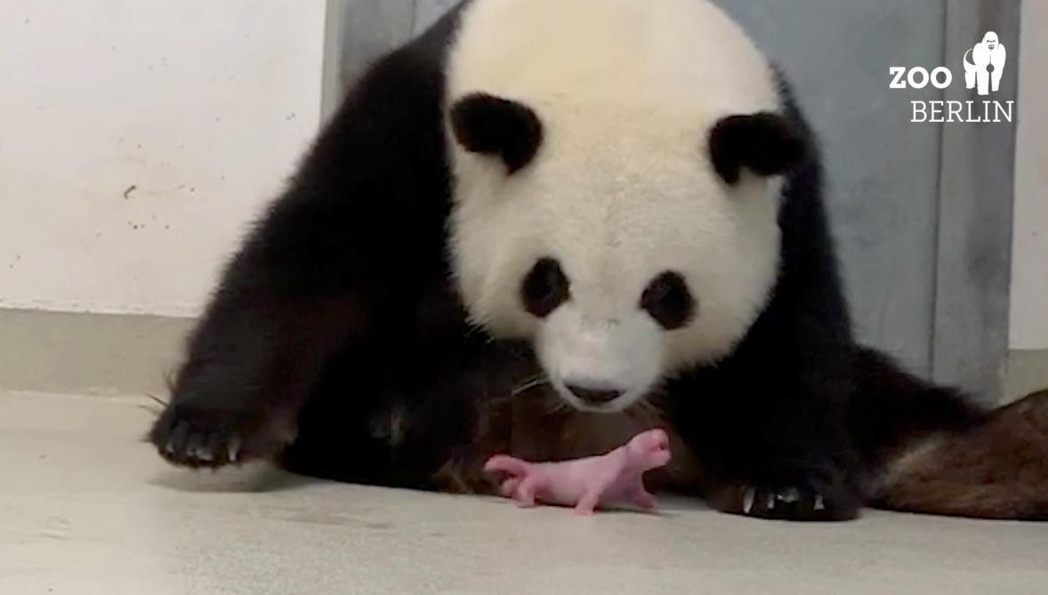 Allemagne: naissance de deux bébés pandas au zoo de Berlin