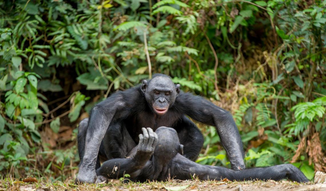 Sexe des Bonobos : la puissance des femelles