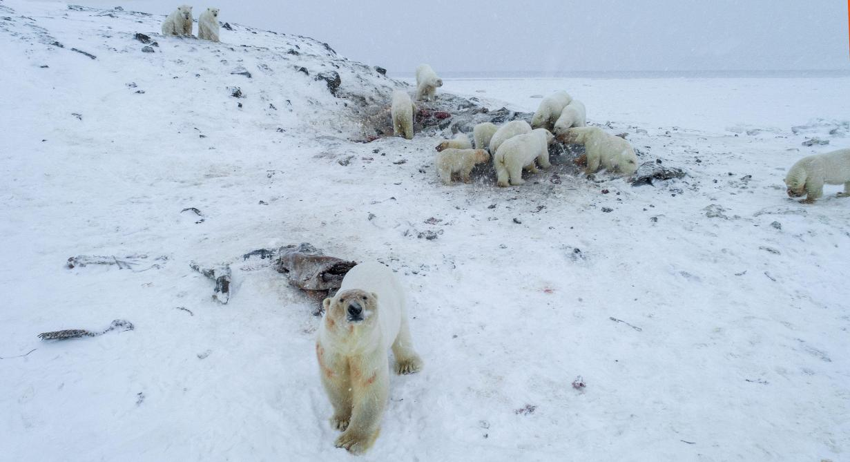56 ours blancs aux abords d'un village russe — Changement climatique