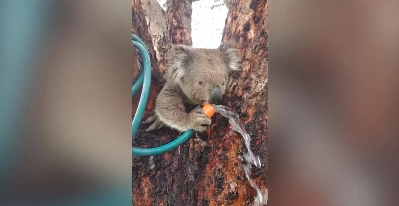 Une cycliste s'arrête pour donner à boire à un koala assoiffé