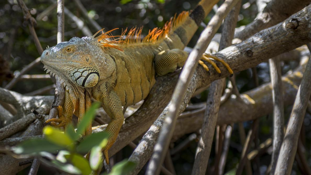 La Floride met en garde ses habitants contre de possibles chutes d'iguanes