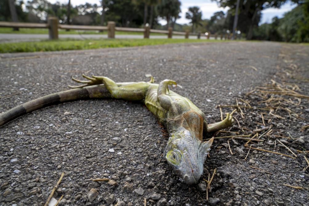 Le froid provoque une pluie d'iguanes en Floride (photos)