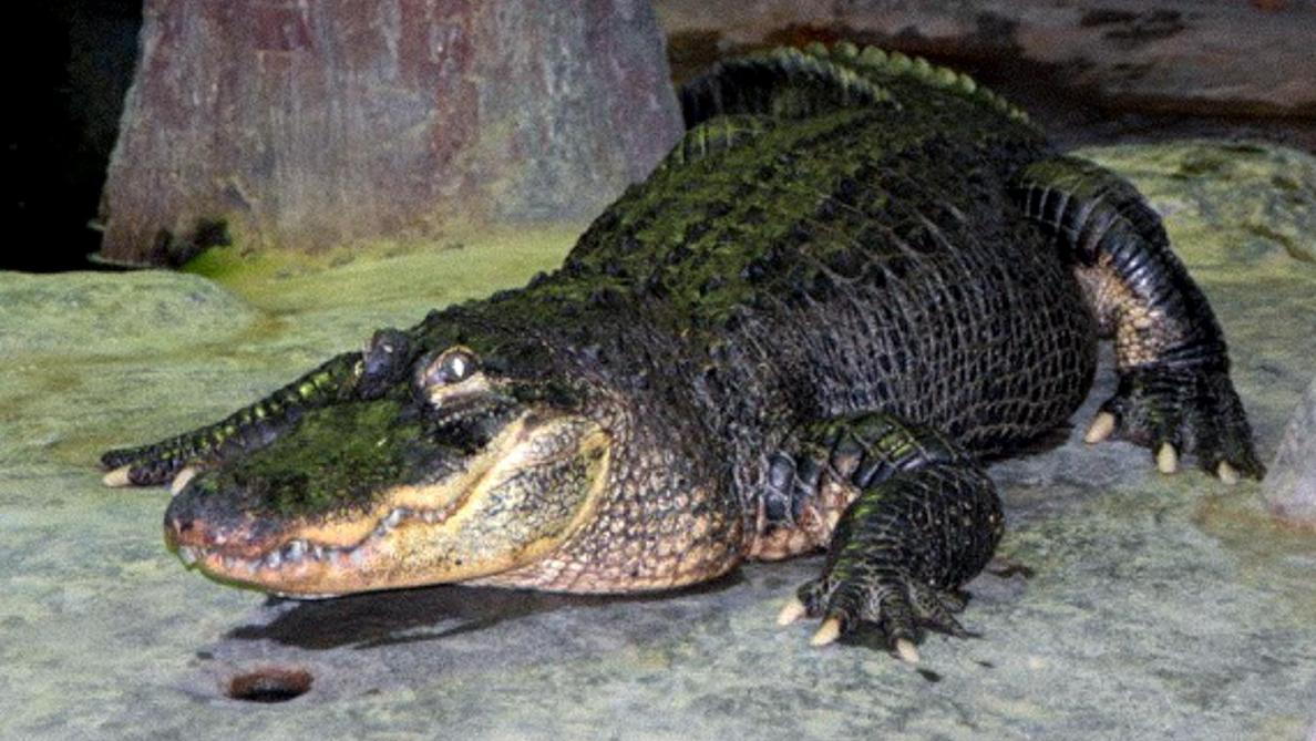 Un alligator légendaire, qui a survécu à la Seconde guerre mondiale, meurt à 84 ans
