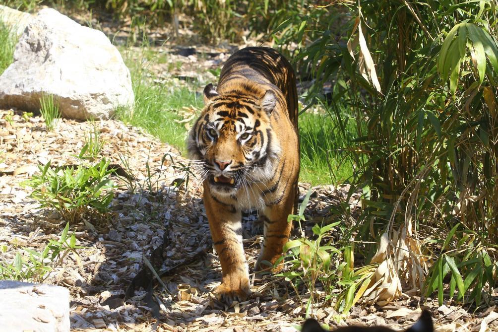 Un tigre blesse une gardienne mortellement au zoo de Zurich