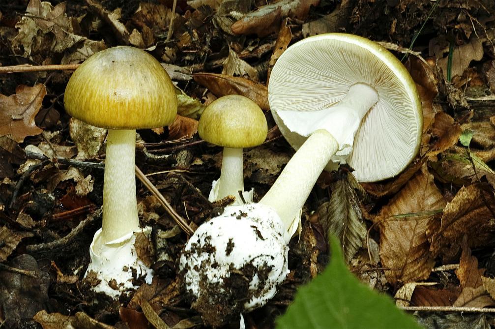 Pourquoi le sexe masculin ressemble-t-il à un champignon?