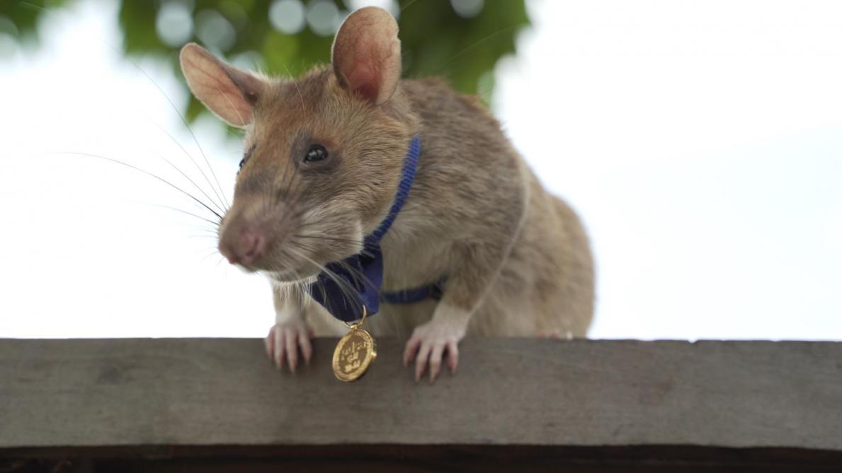 Un rat aux super pouvoirs primé — Royaume-Uni / Déminage