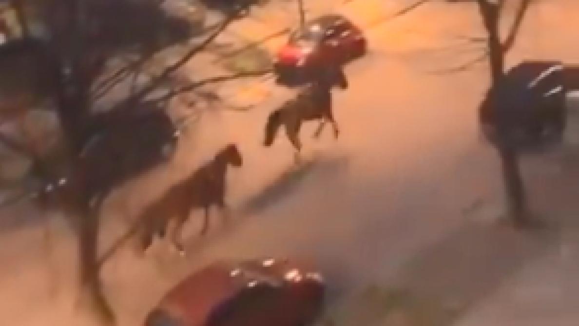 Deux chevaux de la police rentrent seuls à la caserne depuis le Bois de la Cambre: «Un élan de solidarité a permis d'éviter l'accident»