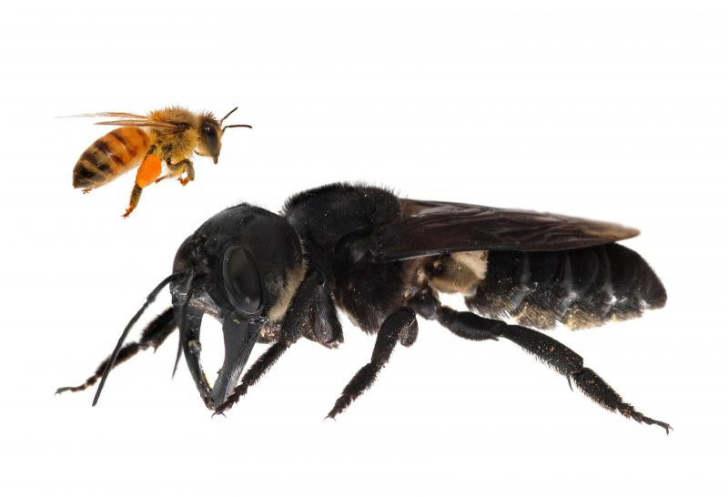 La plus grosse abeille du monde est réapparue