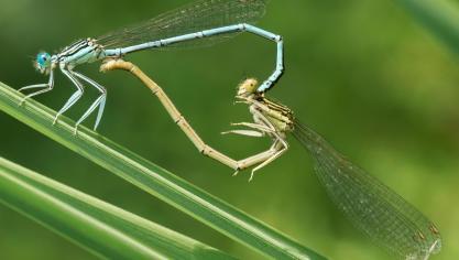 La folle sexualité des insectes
